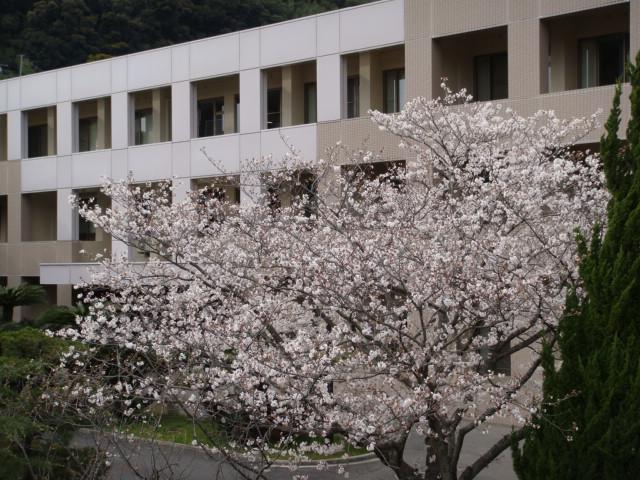 長崎大学のサクラサク