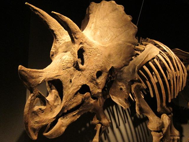 恐竜博2011にてトリケラトプス